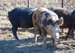 Wild Pigs Increase Range  Threaten Native Wildlife