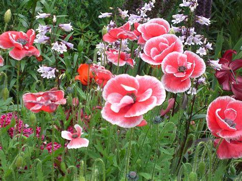 poppy flower garden poppies in hamana lake flower garden in hamamatsu ciy shizuoka gourmet
