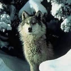 Northern Rocky Mountain Wolf Wikipedia