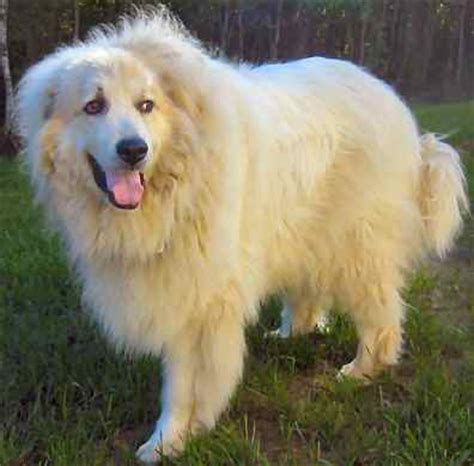 indonesia great pyrenees breeders grooming dog puppies