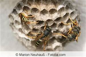 Was Machen Wespen Im Winter : wespen vernichten darf man t ten und wespennester ~ Lizthompson.info Haus und Dekorationen