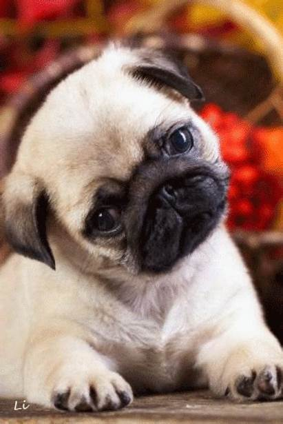 Puppy Pug Puppies Pugs Animals Animal Visit