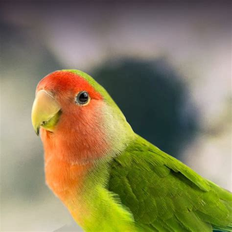 Lovebird Personality, Food & Care – Pet Birds by Lafeber Co.