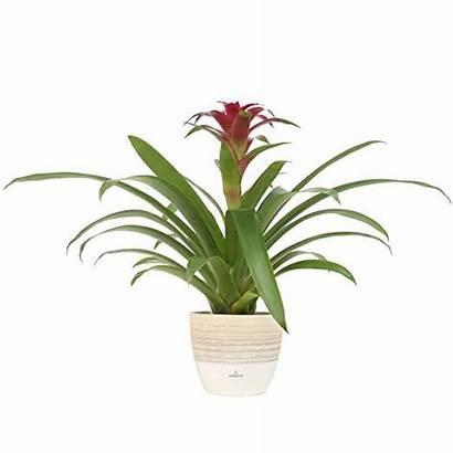 Farms Costa Plant Bromeliad Tall Plants Indoor