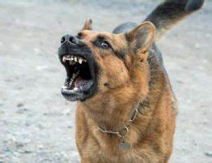 german shepherd dog aggression germanshepherdlifeorg With how to introduce an aggressive dog to another dog