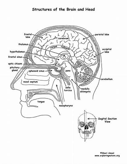 Brain Coloring System Human Labeled Diagram Nervous