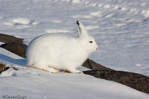 Arctic Hare Facts | Enjoy All these Interesting Facts ...