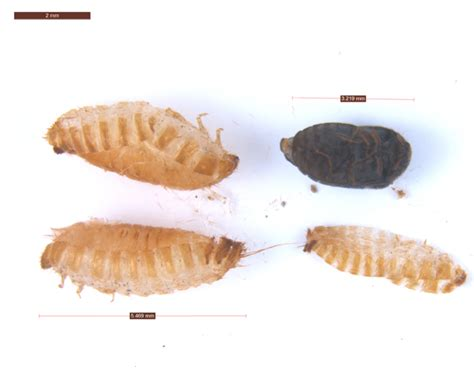 Carpet Beetle Exoskeleton Pictures What Can I Use To Get Nail Polish Off Carpet How Do U Varnish Clean With A Kirby Vacuum Cleaner Remove Outdoor Glue From Wood Cleaning Companies In Alexandria Va Court Wooden Flooring Oil Pastel Mold And Mildew Car