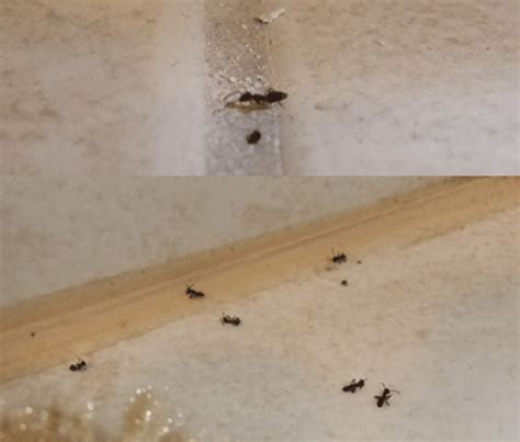 Ants In My Bathroom Sink by Small Black Ants In Kitchen Sink Wow