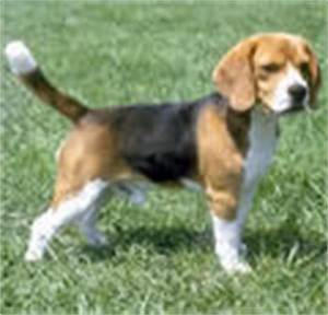 Pocket Beagle Full Size Look Like A Pictures