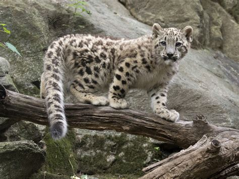 snow leopard cub steps  limelight  bronx zoo cbs news