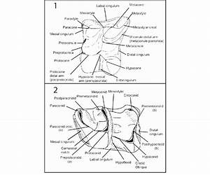 Guide To Dental Morphology Terms Used In This Paper  Drawn