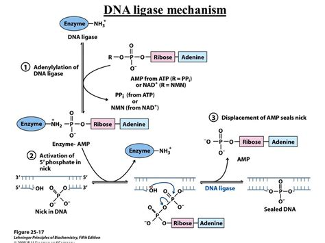 the enzyme uses atp to unwin dna template dna replication repair and recombination ppt download
