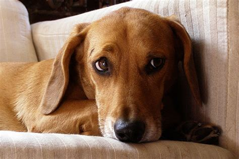 The Dachshund Beagle Mix: Understanding This Playful Hybrid