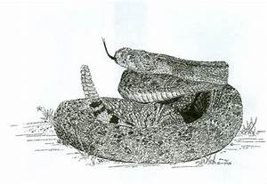 Rattlesnake Striking Drawing