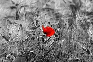 Schwarz Weiß Bilder Mit Farbeffekt Kaufen : mohnfeld im schwarz wei mit einem colorkey foto bild pflanzen pilze flechten bl ten ~ Bigdaddyawards.com Haus und Dekorationen