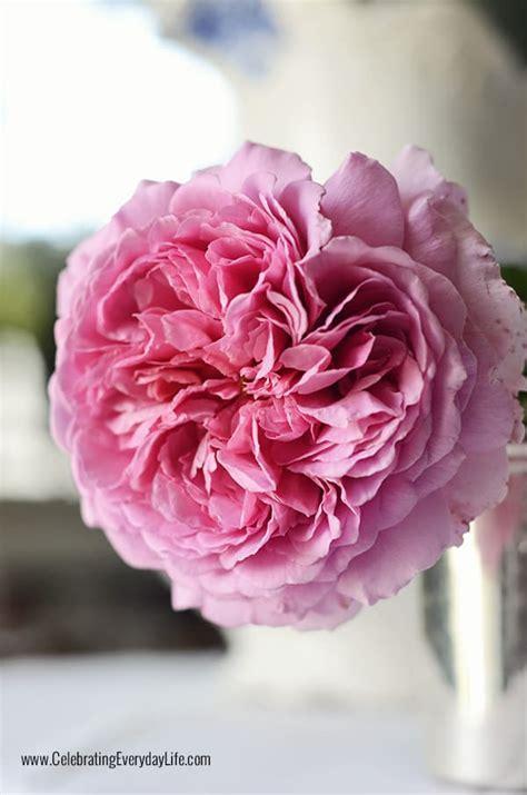 enjoying david austin roses celebrating everyday life