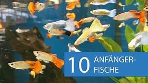 Fische Für Anfänger : video empfehlung 10 aquarium fische f r anf nger ~ Orissabook.com Haus und Dekorationen