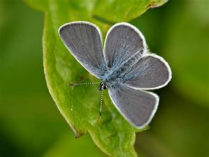 small, blue, butterfly, , identification, , facts, , , u0026, pictures