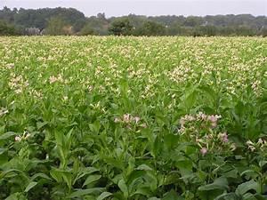 Pflanzen Für Raucher : natural american spirit organic homegrowing starterpakete kostenlos ~ Markanthonyermac.com Haus und Dekorationen