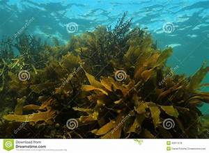 Shallow Water Kelp Forest Stock Photo - Image: 42611578