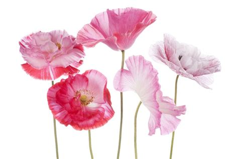 flowers  symbolize peace flower meaning