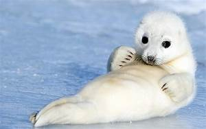 The Harp Seal | Cute Animal | Animals Lover