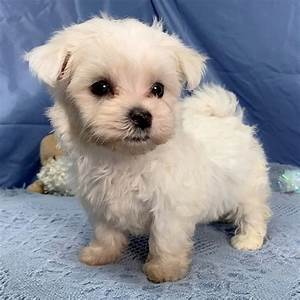 Miniature Maltese For Sale Online Cheap