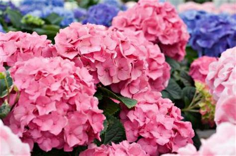 hydrangea flower care montessori botany the fundamental needs of plants pinegreenwoods