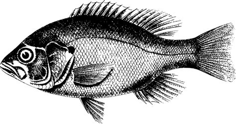 Vektor Ikan Nila Png