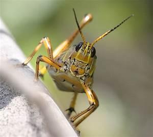 Grasshopper | The Biggest Animals Kingdom