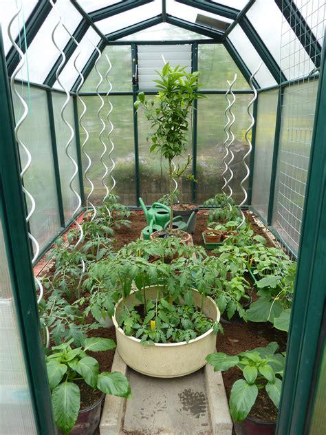 gurken und tomaten im gewächshaus gew 228 chshaus frisch bepflanzt mit tomaten und vereldelten mini gurken gew 228 chshaus