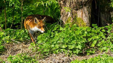 beautiful background  fox woods nettle tree hd wallpaper wallpaperscom