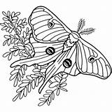 Moth Luna Coloring Line Illustration Turley Joyce Mihran Drawings Illustrator 288px 71kb Scientific sketch template