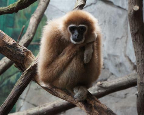 lar gibbon facts diet habitat pictures  animaliabio