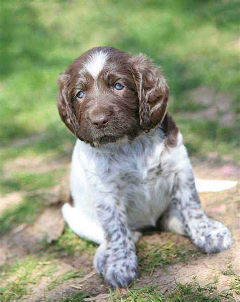 German Wirehaired Pointer Non Shedding by German Wirehaired Pointer Info Temperament Puppies Pictures