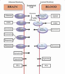 Neurotransmitter Transport Across The Blood Brain Barrier