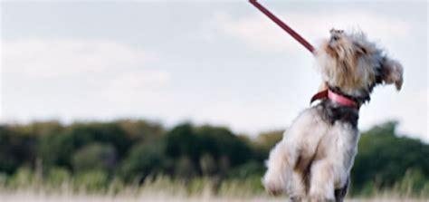 expert leash pulling modern dog magazine