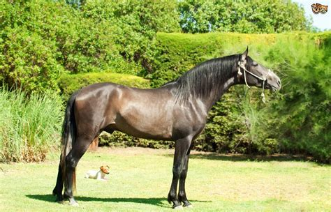 andalusian horse stallion grey pets4homes dressage breed pet