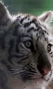 White Bengal Tiger Cub   Olmense Zoo September 2015   Flickr