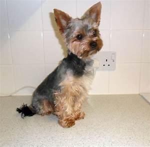 teacup yorkshire terrier facts pets pin yorkie terrier ...