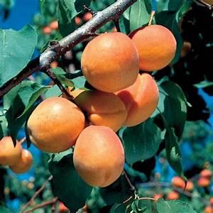 Goldcot Apricot - Apricot Trees - Stark Bro's