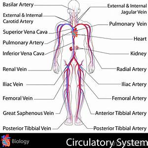 What Is Arterial Circulation   With Pictures