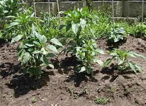 green Bell pepper plant | Dom's Kitchen Garden