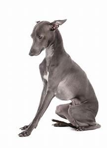 Italian Greyhound | Dogs | Breed Information | Omlet