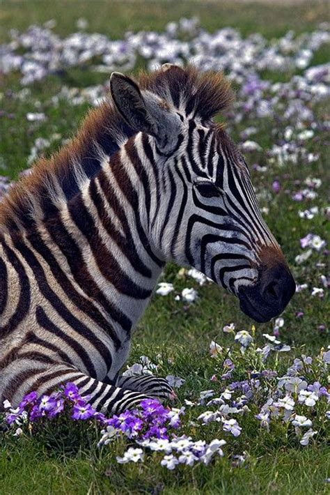 images  zebras  pinterest smiling