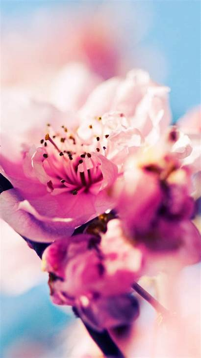 Cherry Blossom Iphone Pixelstalk Wallpapers Wiki