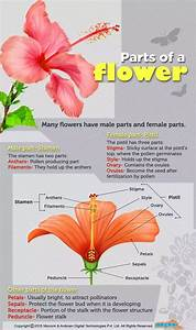 What Are The Four Main Parts Of A Flower