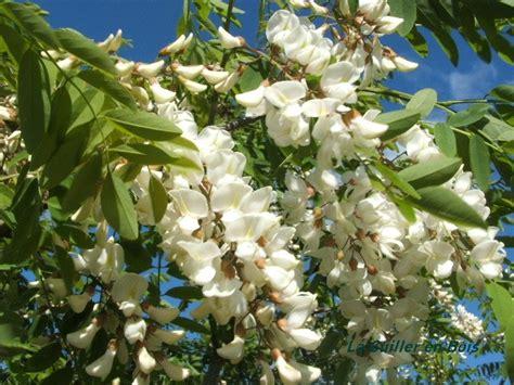 recette cuisine 2 beignets de fleurs d 39 acacia la cuiller en bois