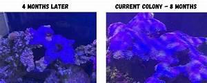 Blue Clove Polyps Coral Care Complete Guide   U2013 Salt Tank